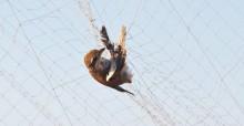 Trapped Migratory Bird © Basem Rabia
