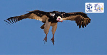 White-headed Vulture © Andre Botha