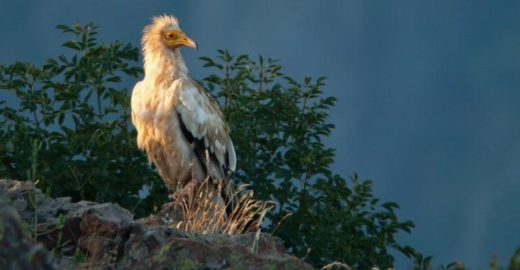 Egyptian Vulture © Sergey Dereliev