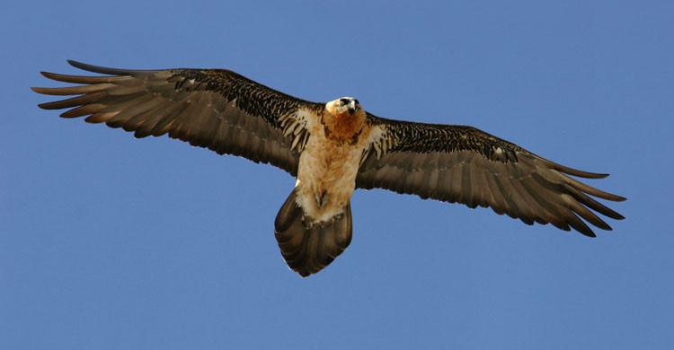 Bearded vulture (Gypaetus barbatus) © Andras Kovacs www.RaptorImages.com