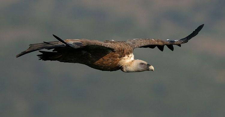 Griffon Vulture (Gyps fulvus) © Michele Mendi