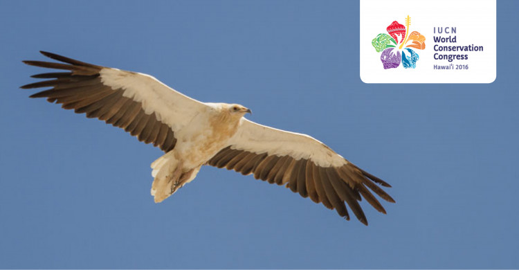 Egyptian Vulture (Neophron percnopterus) © Mike Barth
