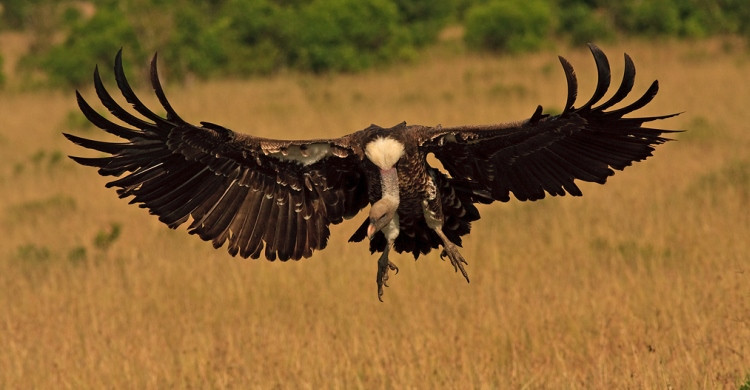 Rüppell's Vulture © Andre Botha