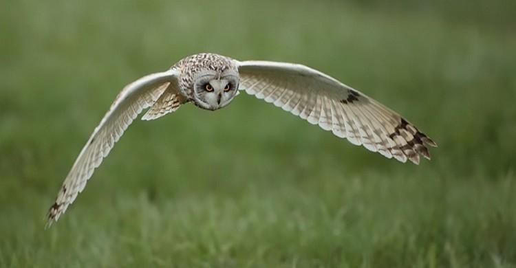 Short-eared Owl. © Michele Mendi