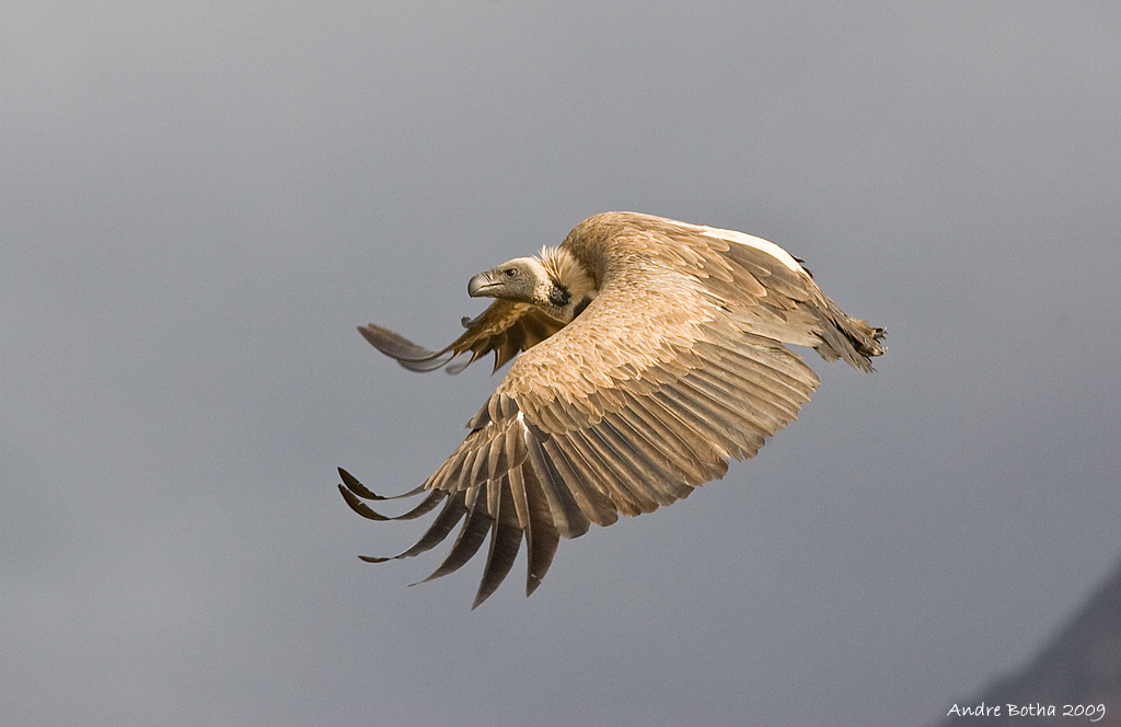 African White-backed Vulture @ Andre Botha