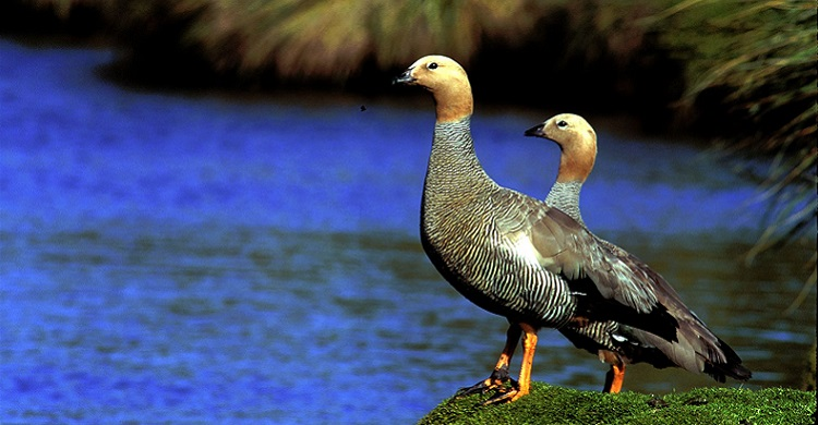 Ruddy-headed Goose (Chloephaga rubidiceps)
