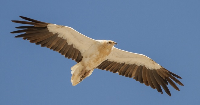 Egyptian Vulture © Mike Barth