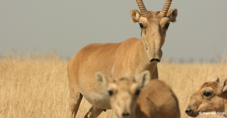 Antilope saïga  (Saiga tatarica) - © Navinder Singh