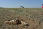 Carcass next to a Mongolian road © Ralf Grunewald/GIZ