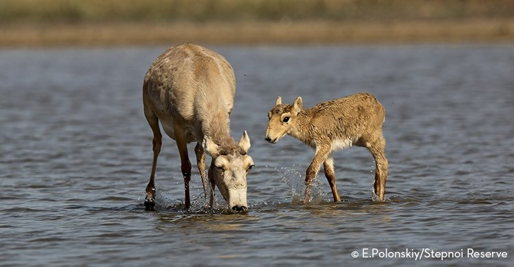 Saiga mother with calf, Stepnoi Reserve, Russia © E. Polonskiy