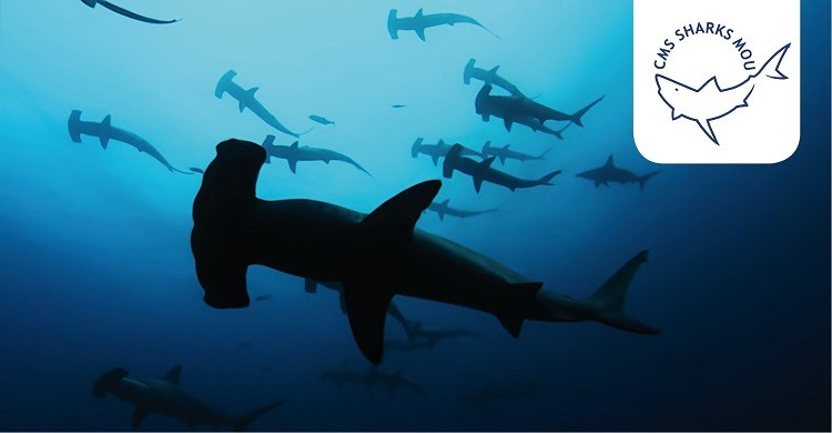 Hammerhead Sharks © Rob Stewart