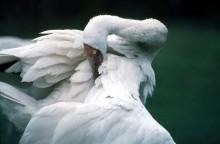 Siberian Crane (Grus leucogeranus) © ICF