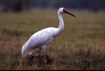 Siberian Crane © International Crane Foundation