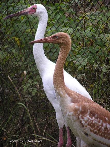 I Hope This Crane Is Just Hiding Other >> Captive Breeding Siberian Crane