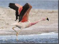Flamingo © Omar Rocha