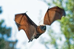 flying fox © Denise wade