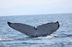 Humpback Whale © Fundación Keto