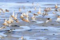 Red Knots at Porsanger Fjord, Norway © Peter Prokosch UNEP/GRID Arendal