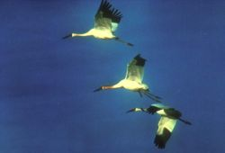 Siberian Cranes in flight © ICF