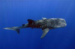 Whale Shark © Commonwealth of Australia