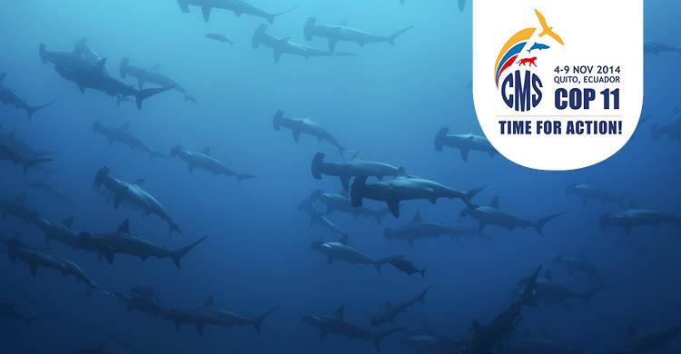 Banco de pesces de tiburón martillo común  (Sphyrna lewini) © Image Broker/Robert Harding