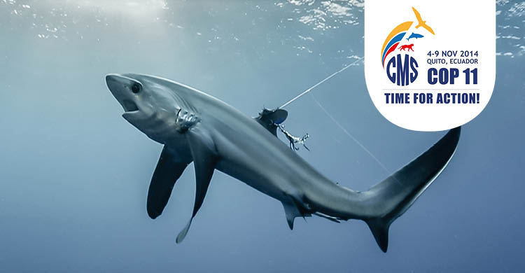 Pelagic Thresher Shark © Doug Perrinne, SeaPics.com