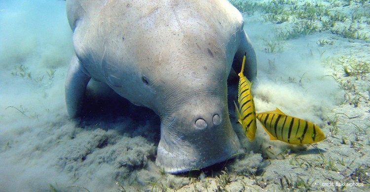 Dugong ©Flickr Photos