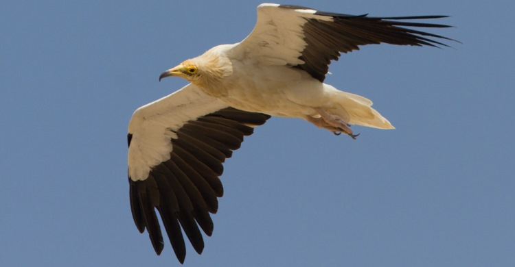 Egyptian Vulture © Mike Barth, https://www.mikebarthphotography.com