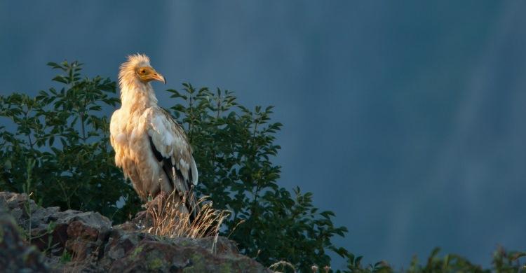 Egyptian Vulture (Neophron pernopterus)  © 2007 Sergey Dereliev (UNEP/AEWA), www.dereliev-photography.com