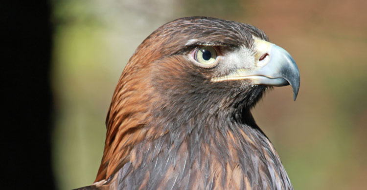 Golden Eagle By DickDaniels (http://carolinabirds.org/) (Own work) [CC BY-SA 3.0 (http://creativecommons.org/licenses/by-sa/3.0) or GFDL (http://www.gnu.org/copyleft/fdl.html)], via Wikimedia Commons