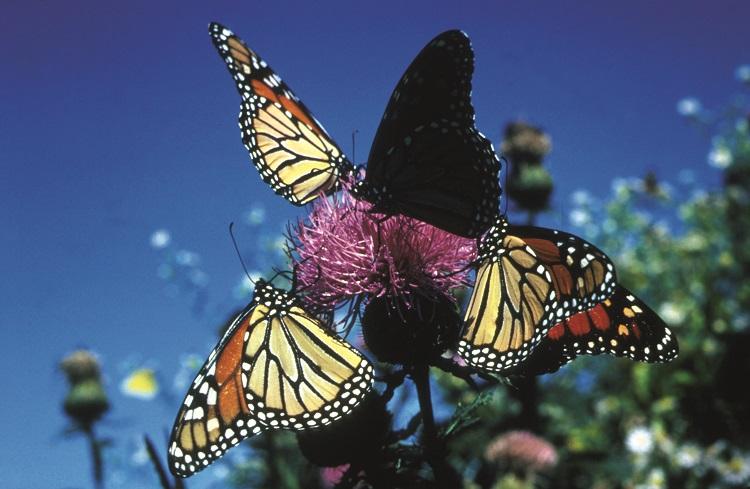 Monarch Butterflies © Allen Montgomery USFWS