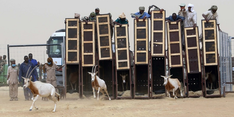 Oryx being released at Ouadi Rimé Achim Reserve © Ayman Khalil