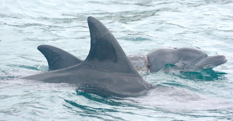 Indo-Pacific Bottlenose Dolphin © Dolphin Care Africa