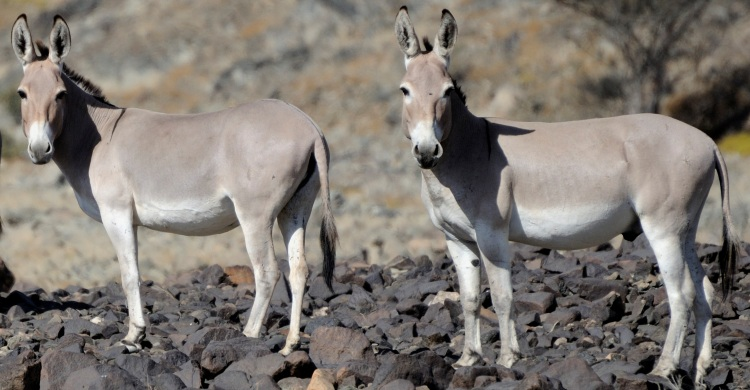 Clear Route Ahead for Protecting Africa�s Endangered Wild Ass