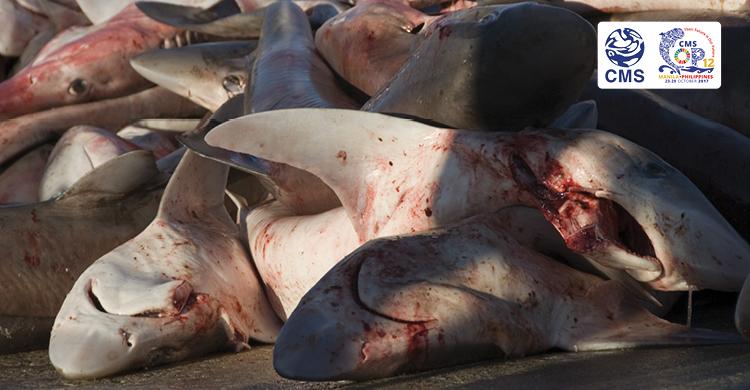 Dead sharks for sale on a fish market © Fiona Ayerst Marine Photobank