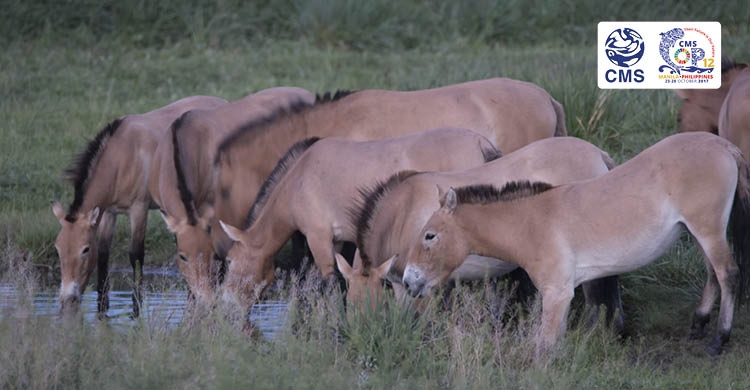 Przewalski's Horses, one of Central Asia's rarest species © Grunewald
