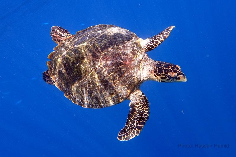 Marine Turtle © Hassan Hamid