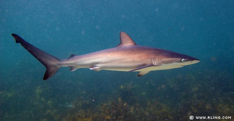 El tiburón arenoso @ www.rling.com