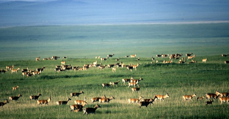 Mongolian Gazelles © WCS