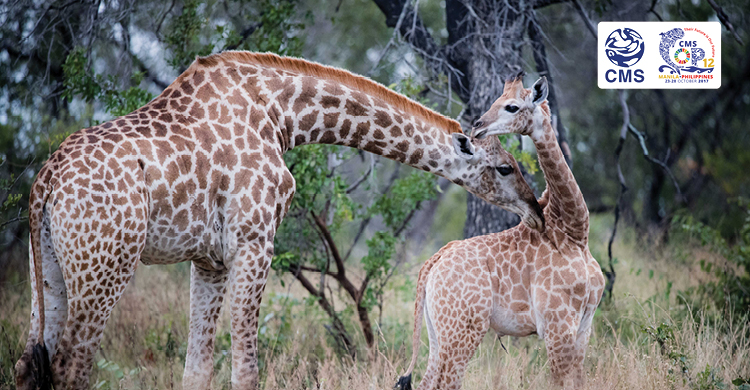 Numbers of Giraffes have plunged by almost 40 per cent over the past 30 years, according to IUCN © John Birch