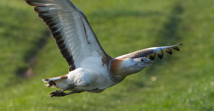 "Great Bustard © Franz Kovacs, LIFE Project ""Great Bustard""  www.grosstrappe.at"