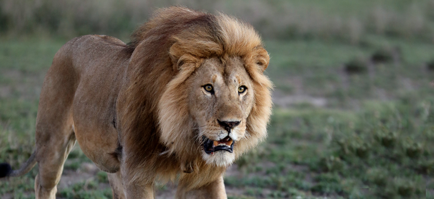 Lion © Vanessa Mignon