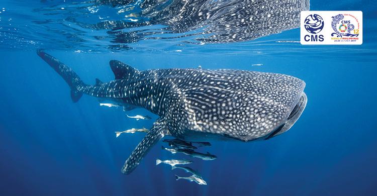 Tiburón ballena © David Robinson