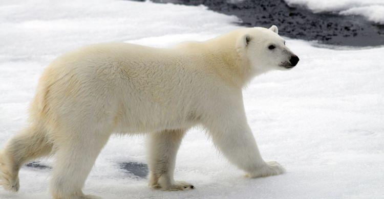 female polar bear © Peter Prokosch, GRID-Arendal