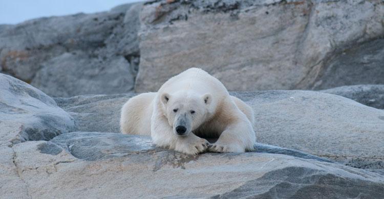 Polar Bear (Ursus maritimus) © Peter Prokosch