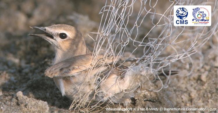 Wheatear caught in trammel net © Mindy El Bashir/Nature Conservation Egypt