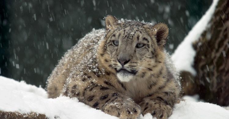 Snow leopard © Martin Foster