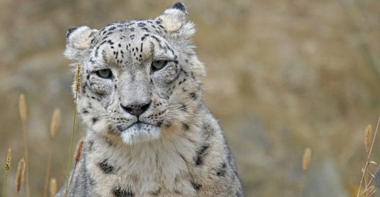Snow Leopard (Uncia uncia) © pixabay.com