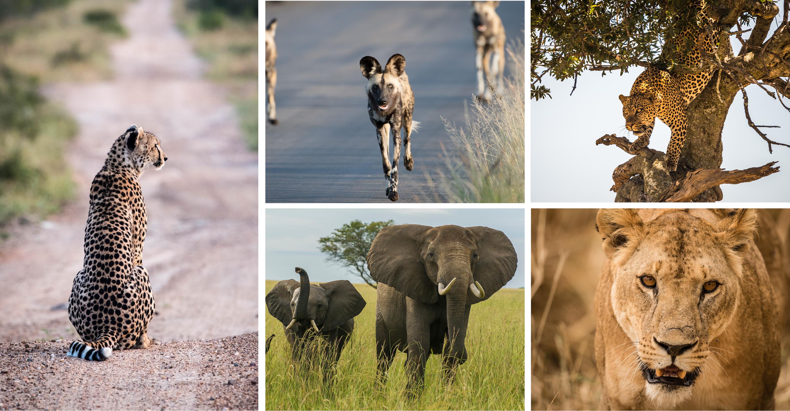 Cheetah © John Birch; African Wild Dog © John Birch; Leopard © Nick Dale; African Elepahnt © Andreas Klotz; African Lion © Jacques-Andre Dupont