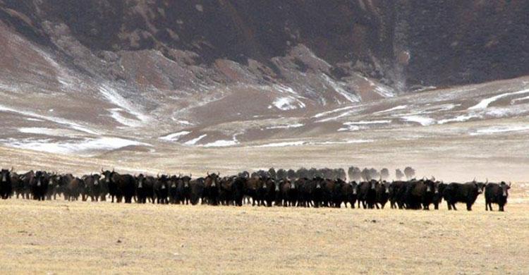 Wild Yaks © Tsiwan Luobu of Shuanghu Forestry Bureau